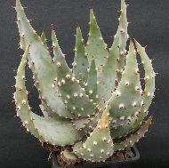 Aloe marlothi