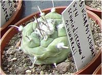 Turbinicarpus