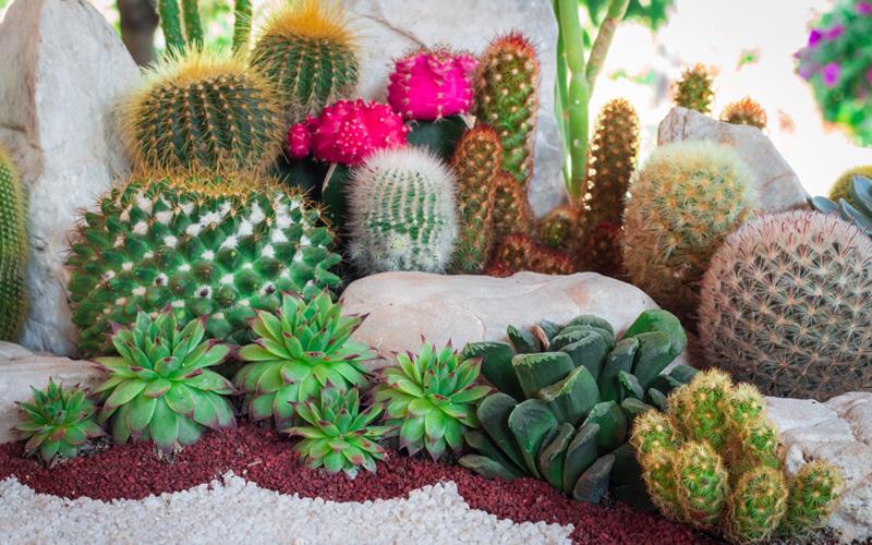les cactus et succulentes ou plantes grasses. Black Bedroom Furniture Sets. Home Design Ideas